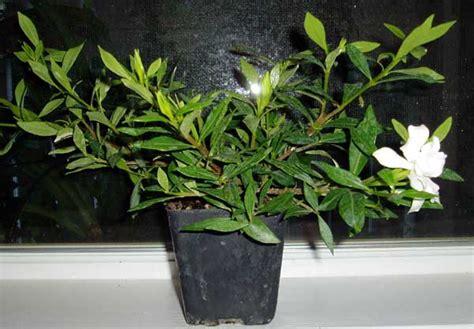 Gardenia Japonica Radicans Tropical Garden Contest 2004 Toptropicals