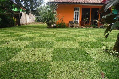 jual bibit tanaman hias rumput gajah varigata mini