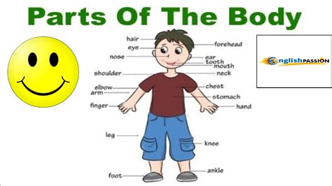 imagenes de cuerpo humano ingles partes del cuerpo humano en ingl 233 s parts of the body