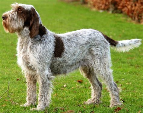 spinone italiano puppy spinone italiano sporting breeds picture breeds picture