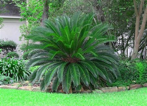 sago palm for sale the gallery for gt sago palm tree landscaping