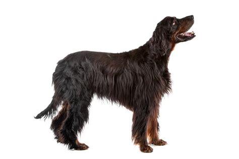 gordon setter guard dog gordon setter2 jpg gordon setter dog breeds