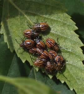 bug treer help please identify bugs on birch tree elasmucha