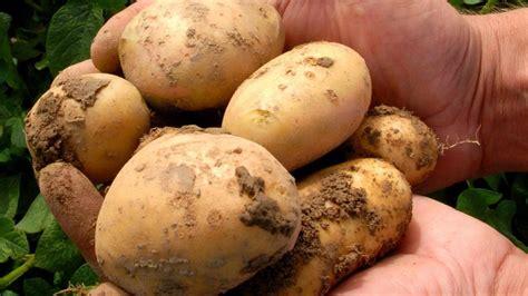 Wann Kartoffeln Pflanzen Kartoffeln Pflanzen Und Ernten