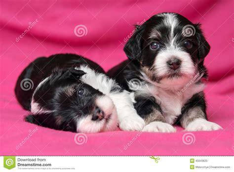 perro havanese perro de dos perritos havanese de mentira lindo en una colcha rosada foto de archivo