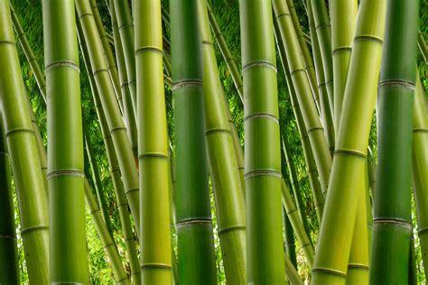 abwaschbare fototapete livingwalls fototapete 171 bambuswald 187 470680