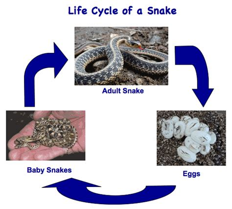 black mamba snake bites life cycle appearance and more illustration of reptile life cycle snakes science ss