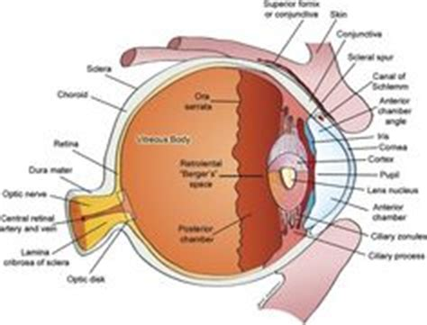 sectional anatomy of the eye 1000 images about the eyes have it on pinterest