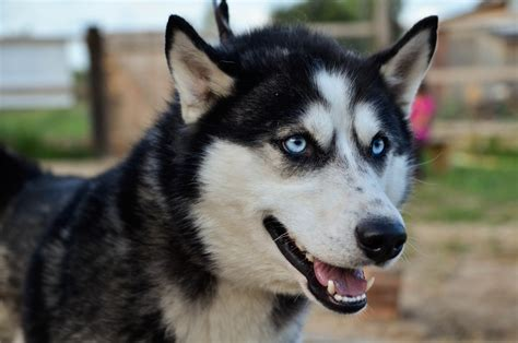 alaskan husky dogs sled center