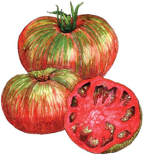 pink berkeley tie dye tomato berkeley horticultural