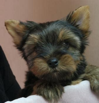 liabri yorkies puppy gallery