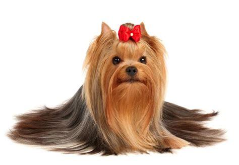 are yorkies smart dogs terrier8 1 jpg terrier breeds