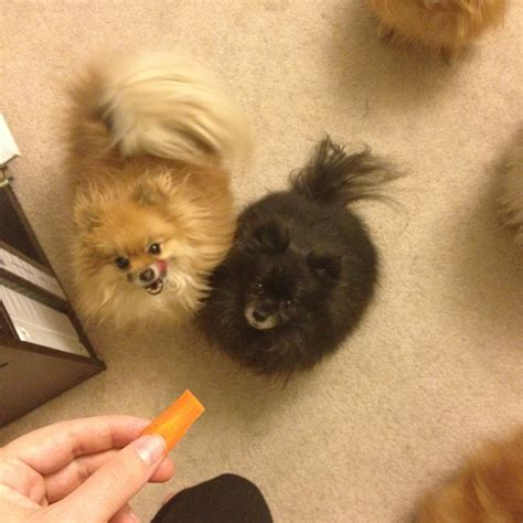 baby pomeranian are baby carrots safe for pomeranians