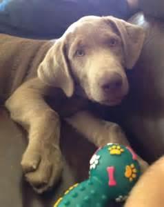 silver puppy silver labrador puppy labrador puppies