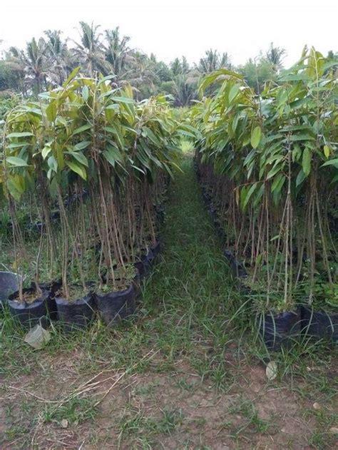 Bibit Durian Musang King Kaki Ganda durian musang king bibit durian unggul