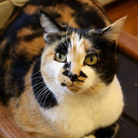 Cat Sepasang azamrussia kucing dan dna