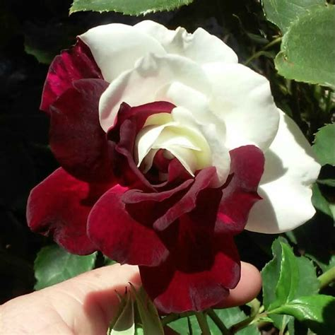 osiria rose photo gallery hard  find hybrid tea rose