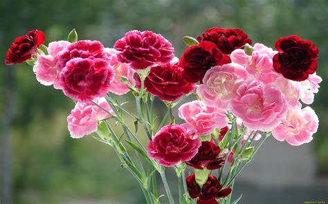 carnations  wallpaperscom