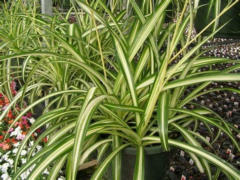 Indoor Flower Plants spider plant the tree center