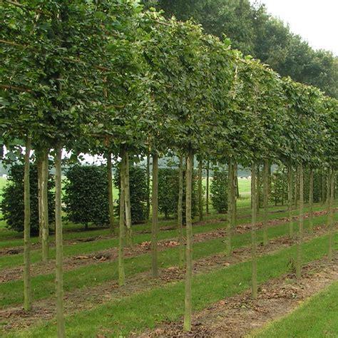 trees uk pleached hornbeam trees buy pleached carpinus betulus