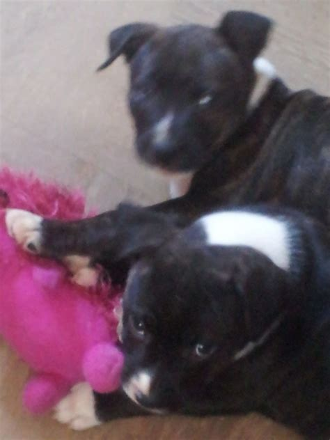 staffordshire terrier puppies for sale 2 staffordshire bull terriers pups for sale worksop nottinghamshire pets4homes