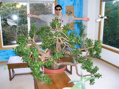 Worlds Largest Planter by File The Largest Indoor Jade Plant In The World Jpg