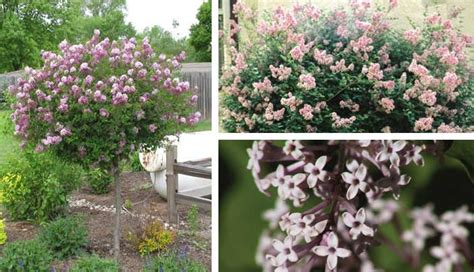 Small Decorative Trees by Ornamental Small Trees For Garden 100 Images Small
