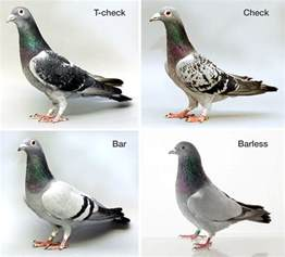 colored pigeons pattern