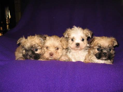 dogs for adoption in oklahoma miniture shichon teddy puppies for sale adoption from muskogee oklahoma adpost
