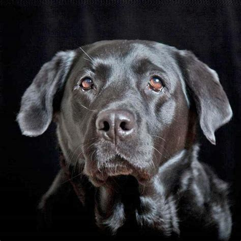 labrador names chocolate lab names pictures to pin on pinsdaddy