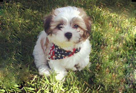 shih tzu bichon dogs zuchon shichon teddy mix between bichon and shih tzu