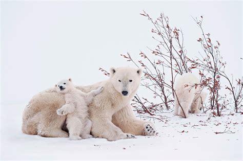 imagenes de ositos navideños 26 fotos de osos polares