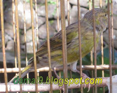 Rontoc Vit Perontok Bulu Burung budidaya burung cara mempercepat tumbuh bulu burung kenari sehabis mabung