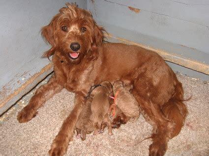 mini goldendoodles ebay f1b goldendoodle pictures hardjarisre