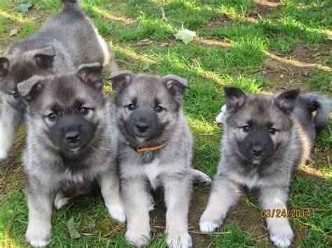 elkhound puppy elkhound puppies astra s second litter mcclone