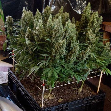 cultivar marihuana  el metodo scrog blog arcuma