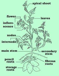 euspongia diagram monocot vs dicot seed anatomy plant diversity ii seed