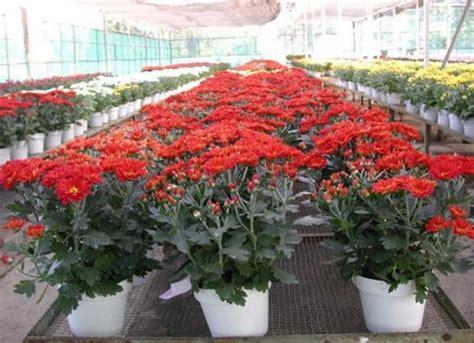 Bibit Bunga Krisan cara sukses menanam bunga krisan dalam pot dengan mudah