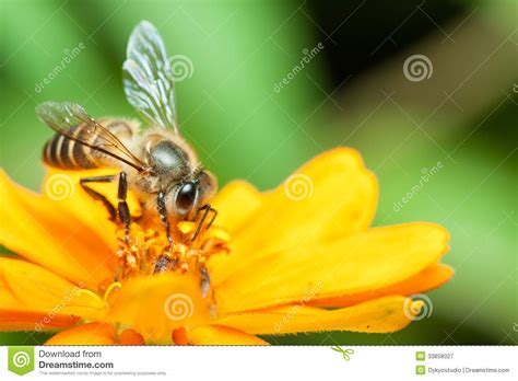 macro of honey bee eating nectar royalty free stock
