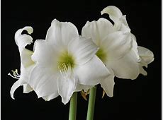Single flowered amaryllis [I-P] – emaryllis.com Matterhorn