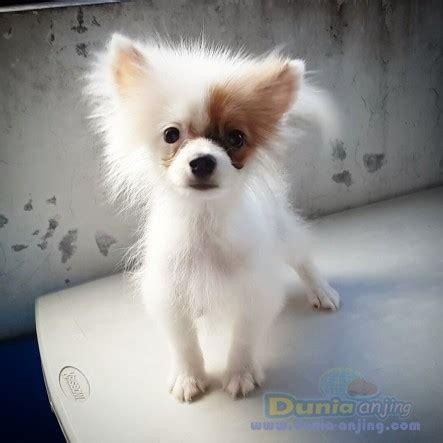 Jual Jual Minipom Jantan Kaskus dunia anjing jual anjing shih tzu minipom colour