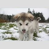 Cute Husky In Snow | 500 x 333 jpeg 32kB