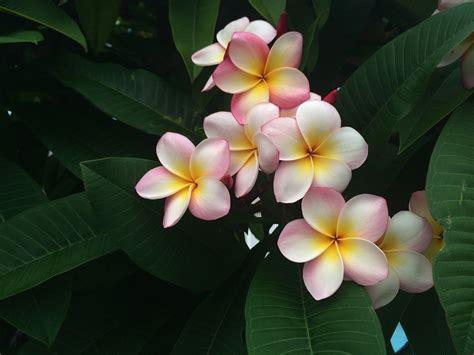 pomelia fiore pomelia o frangipani il fiore simbolo di palermo siciliafan