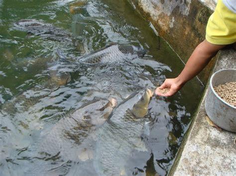 membuat umpan ikan mas yang bagus resep rahasia umpan ikan mas kilo gebrus paling ampuh