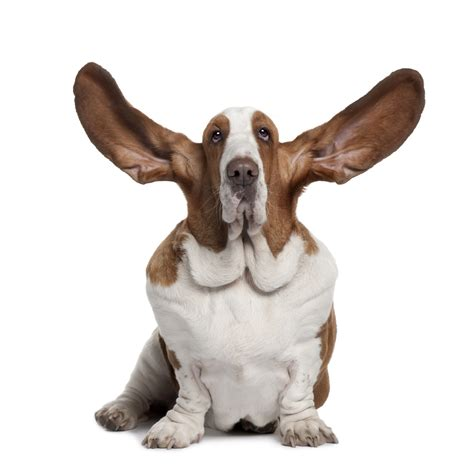 dogs with big ears marketing hints and tips listen