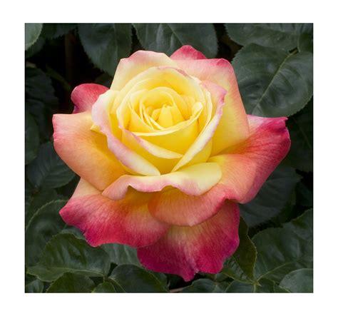 rosa in vaso coltivare le in vaso balconi terrazze