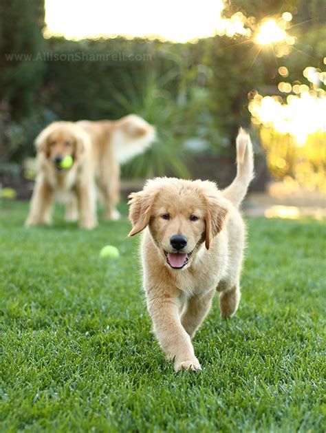 san diego golden retriever breeders san diego golden retrievers hudson harley san diego pet photographer allison