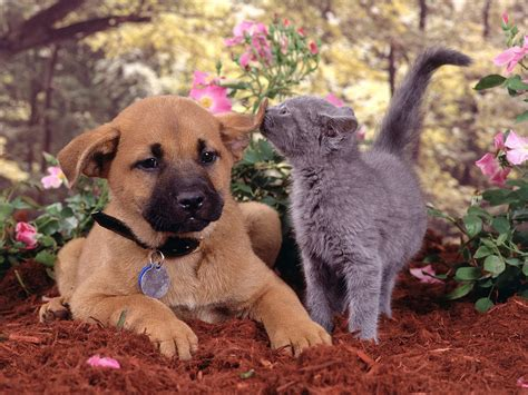 pictures of dogs and cats dogs vs cats images dogs and cats hd wallpaper and background photos 13631892