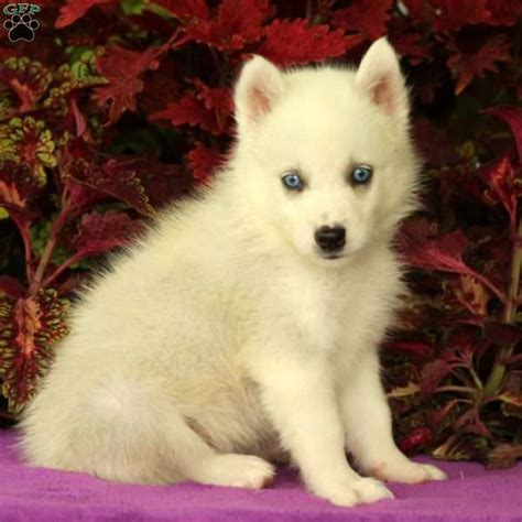 huskimo puppies frosty huskimo puppy for sale in pennsylvania