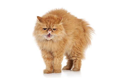 alimentazione gatto persiano persiano a muso di pechinese atlante dei gatti su